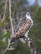 Osprey (Image ID 45073)