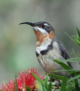 Western Spinebill (Image ID 45703)