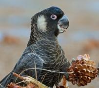 Carnaby's Black-Cockatoo (Image ID 45702)