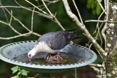 White-headed Pigeon (Image ID 45720)