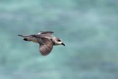 Black-winged Petrel (Image ID 45608)