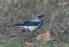 Ground Cuckoo-shrike (Image ID 45704)