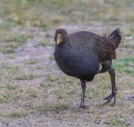 Tasmanian Native-hen (Image ID 45870)