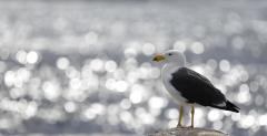 Pacific Gull (Image ID 45905)