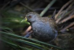 Australian Spotted Crake (Image ID 45681)