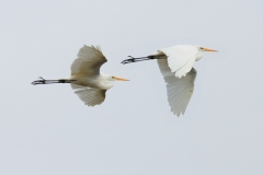 Great Egret (Image ID 45797)