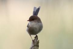 Superb Fairy-wren (Image ID 45745)
