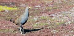 Tasmanian Native-hen (Image ID 46042)