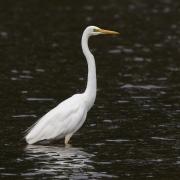 Great Egret (Image ID 46510)