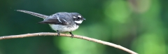 Grey Fantail (Image ID 46486)