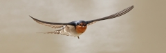 Welcome Swallow (Image ID 46347)