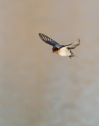 Welcome Swallow (Image ID 46348)