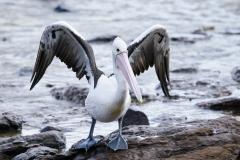 Australian Pelican (Image ID 46003)