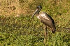 Black-necked Stork (Image ID 46382)