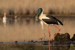 Black-necked Stork (Image ID 46381)