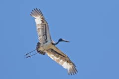 Black-necked Stork (Image ID 46383)
