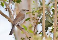 Grey Shrike-thrush (Image ID 46195)