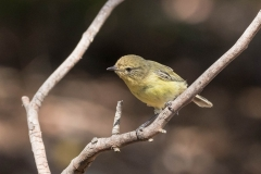 Yellow Thornbill (Image ID 46092)