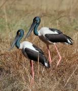 Black-necked Stork (Image ID 46108)