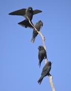 Little Woodswallow (Image ID 46448)