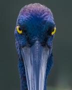 Black-necked Stork (Image ID 46320)