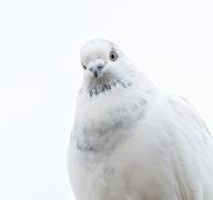 Rock Dove (Image ID 46497)