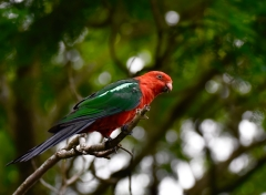 Australian King-Parrot (Image ID 45932)