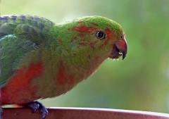 Australian King-Parrot (Image ID 45933)