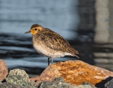 Pacific Golden Plover (Image ID 46408)