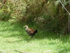 Tasmanian Native-hen (Image ID 46112)