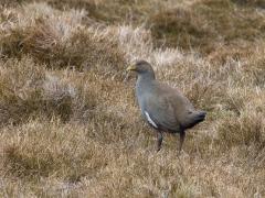 Tasmanian Native-hen (Image ID 46083)