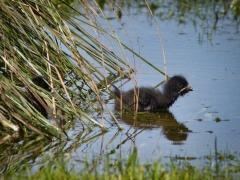 Tasmanian Native-hen (Image ID 46082)