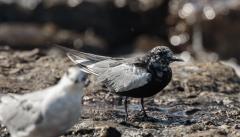 White-winged Black Tern (Image ID 46424)