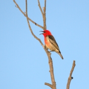 Scarlet Honeyeater (Image ID 46509)