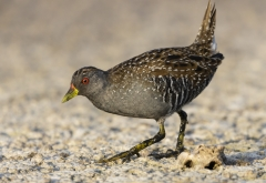 Australian Spotted Crake (Image ID 46187)