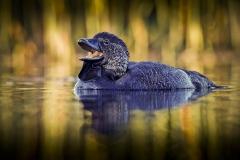 Musk Duck (Image ID 46395)