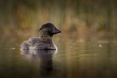 Musk Duck (Image ID 46396)