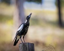 Australian Magpie (Image ID 46049)