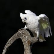 Little Corella (Image ID 46044)