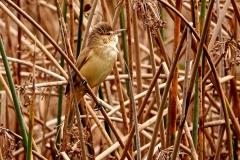 Australian Reed-Warbler (Image ID 46848)