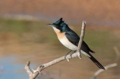 Restless Flycatcher (Image ID 46696)