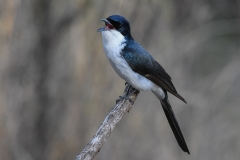 Restless Flycatcher (Image ID 46697)