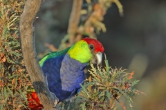 Red-capped Parrot (Image ID 46800)