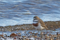 Double-banded Plover (Image ID 46734)