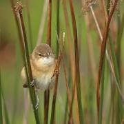 Australian Reed-Warbler (Image ID 46857)