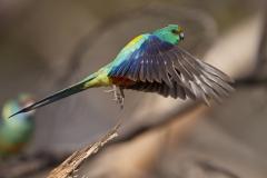 Mulga Parrot (Image ID 46718)