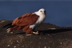 Brahminy Kite (Image ID 46756)