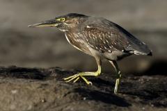 Striated Heron (Image ID 46761)