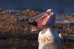 Australian Pelican (Image ID 46758)