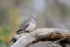Peaceful Dove (Image ID 46679)